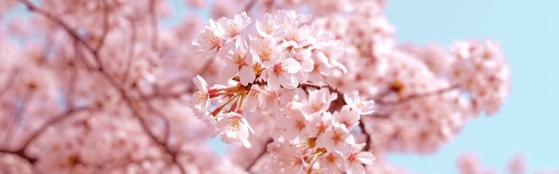 桜を見る会の中止を安倍首相が決定。野党による激しい追及は免れられぬか