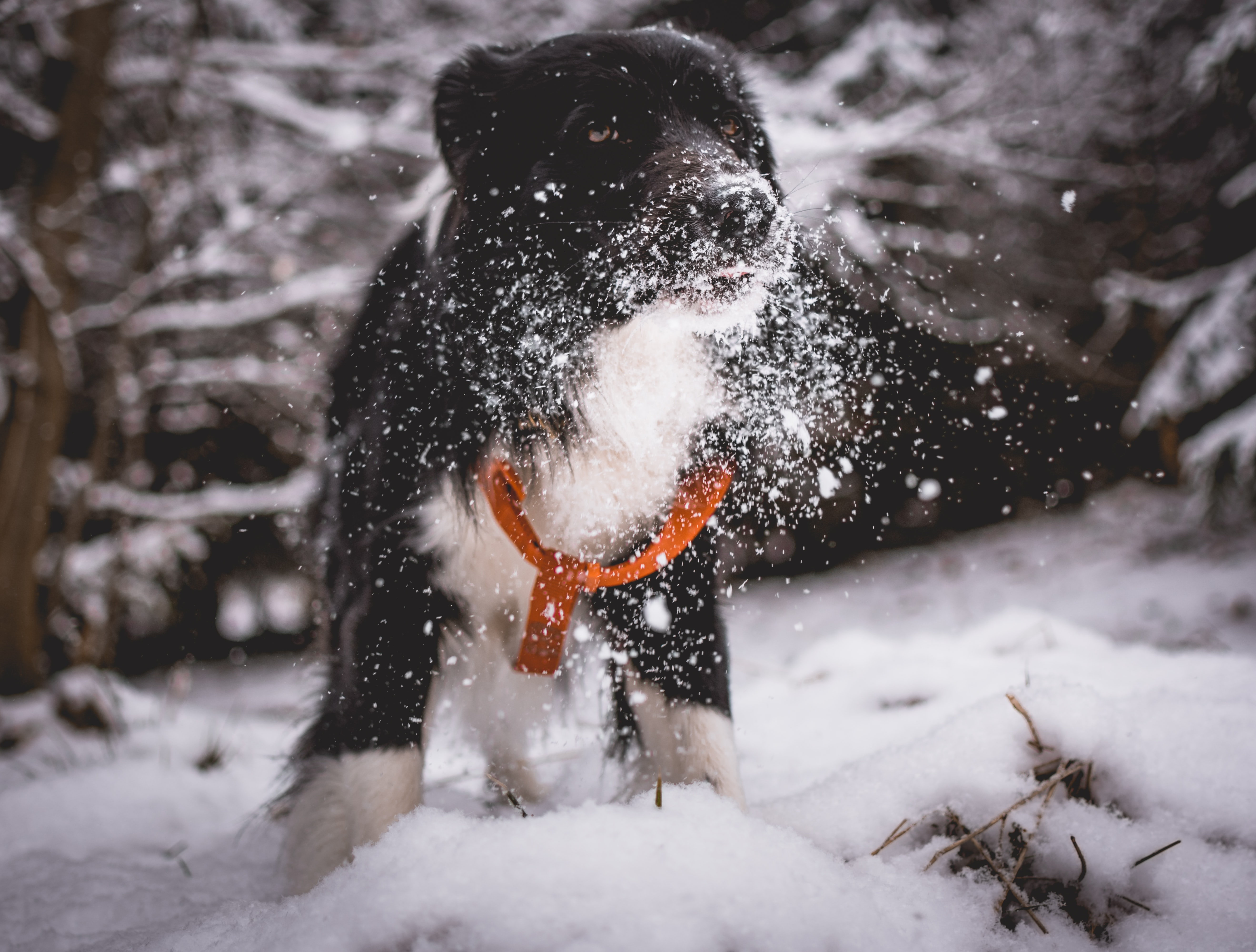 black and white dog playing in snow