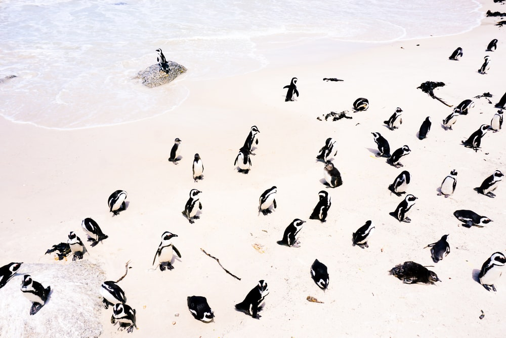 group of penguins facing at the coastline