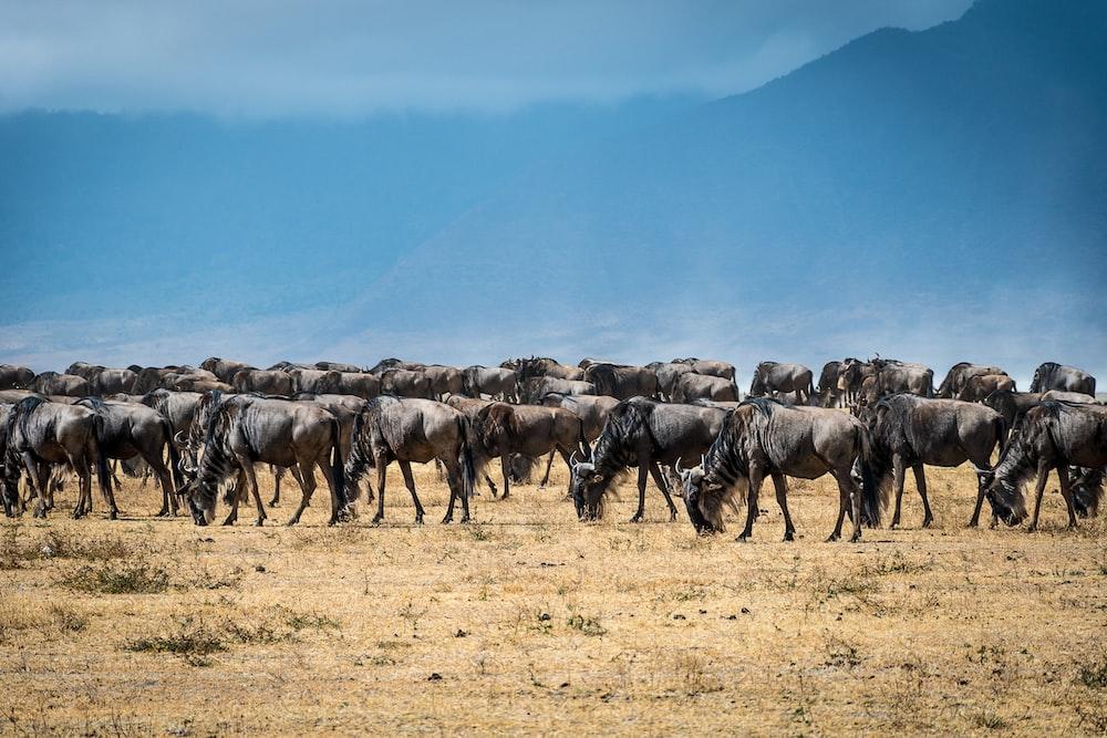 herd of black animal