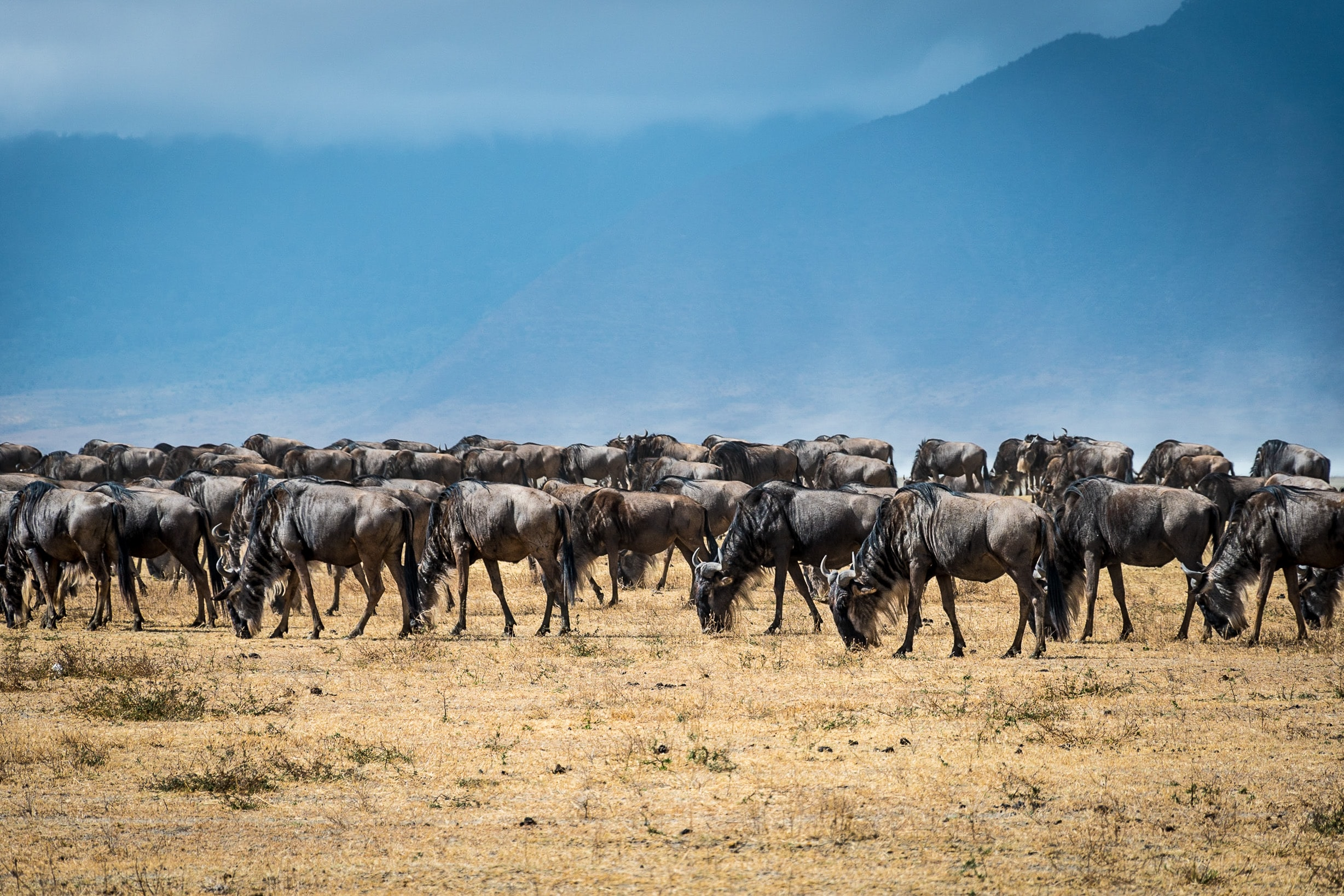 herd of black animal