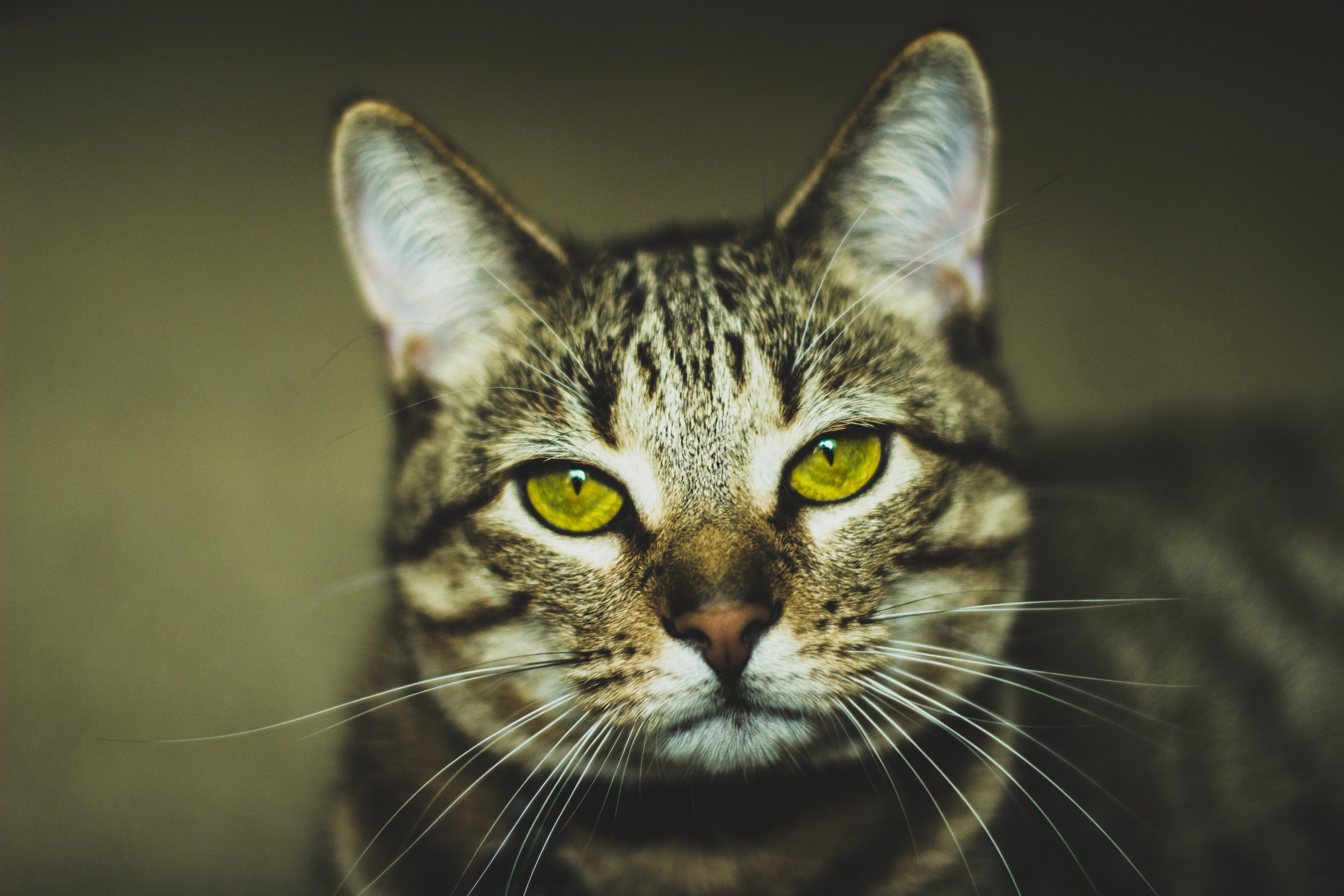brown tabby cat in macro photography