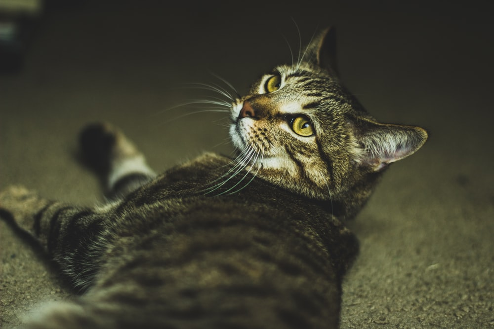 shallow focus photography of gray tabby cat