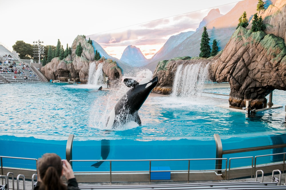 killer whale on body of water