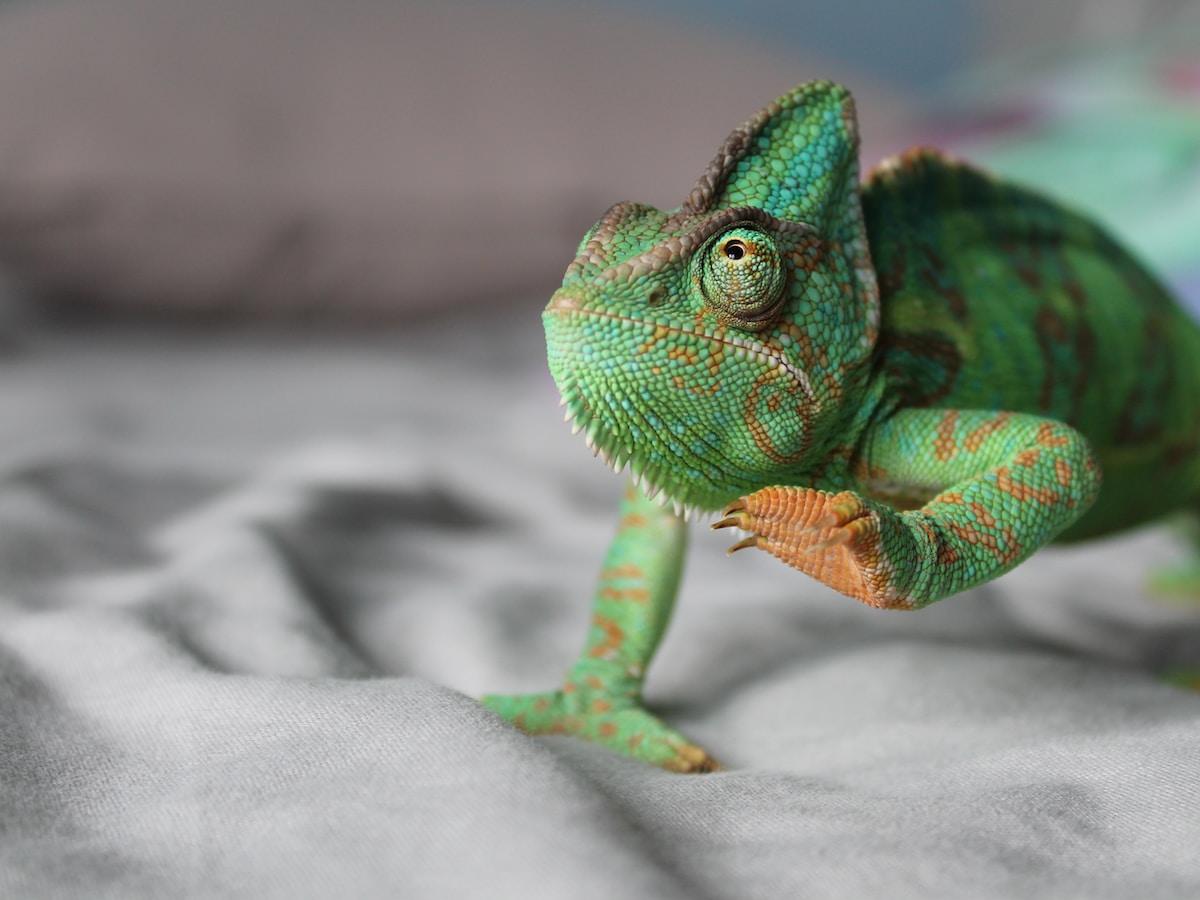 camaleones, color, green chameleon lifting left leg