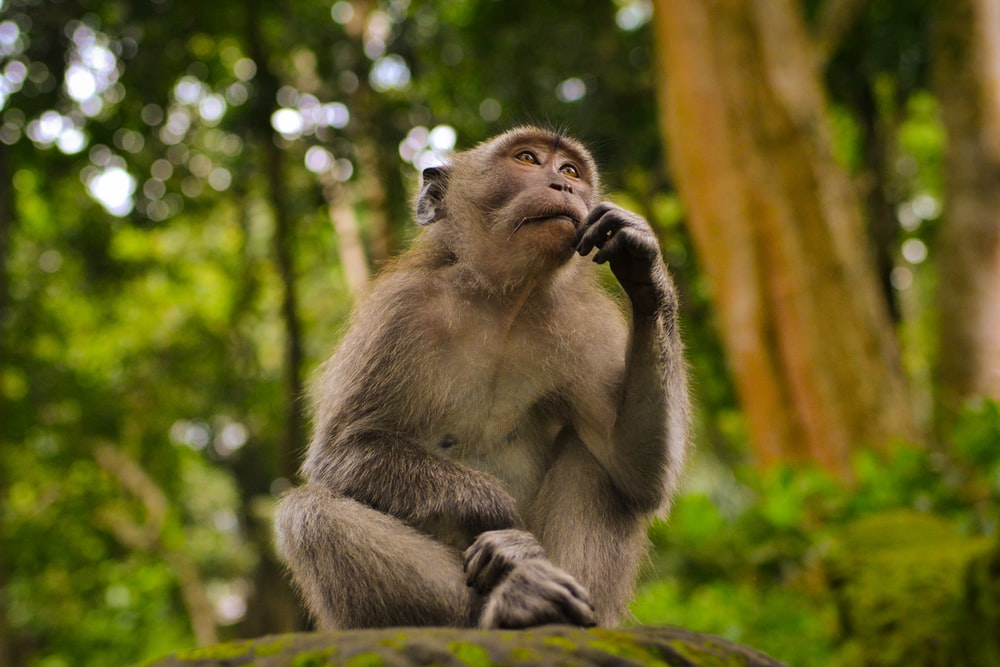 gray monkey in bokeh photography