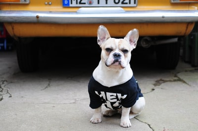 selective focus photography of dog wearing shirt french provincial zoom background