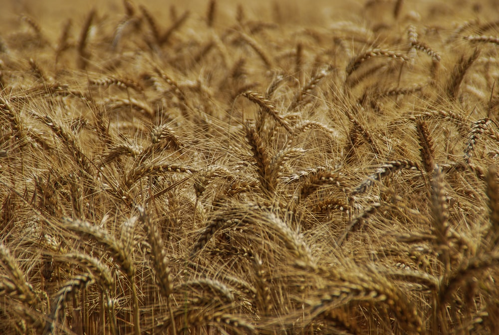 selective focus photography wheat field