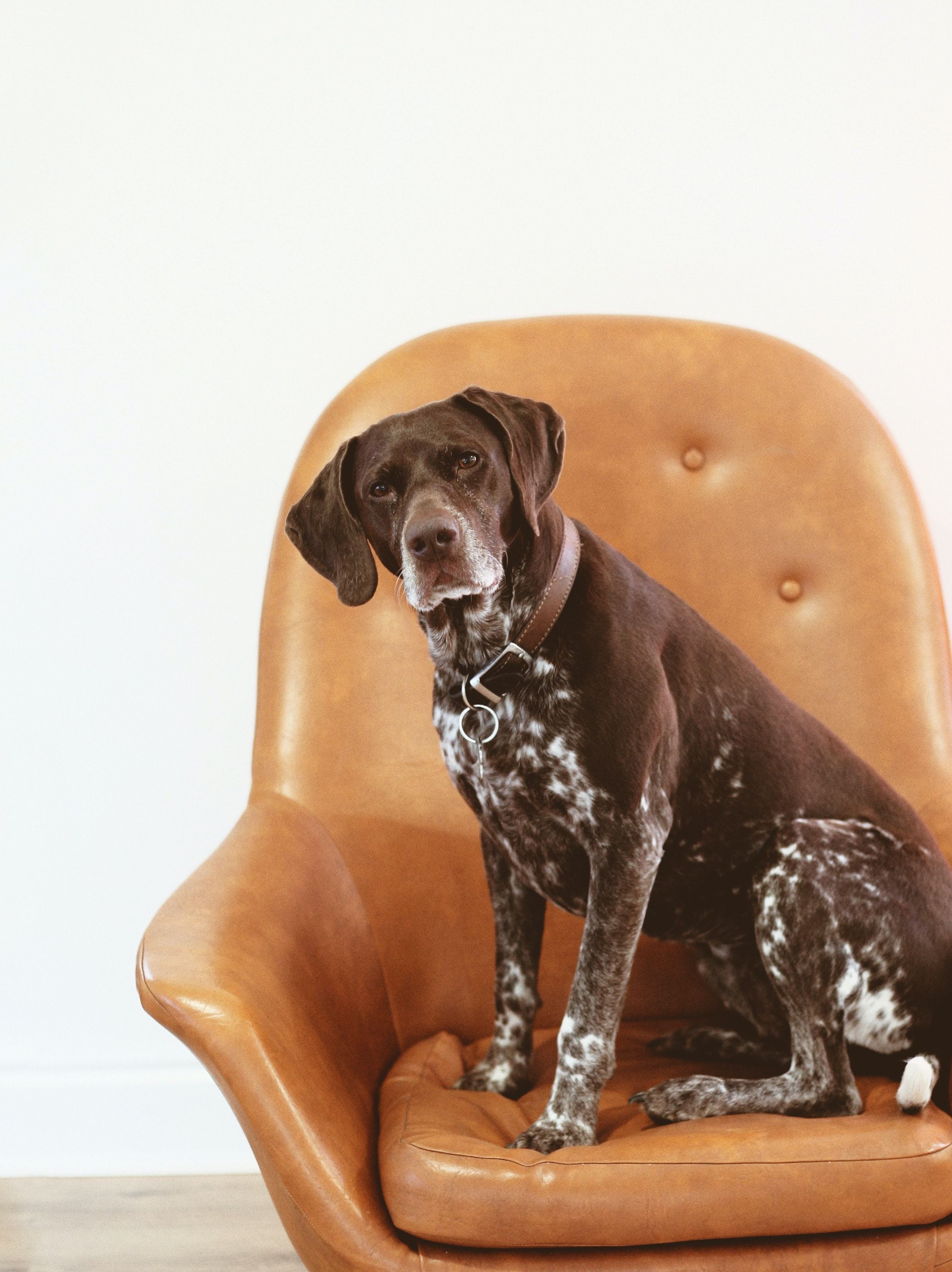 short-coated black and white dog on orange leather armchair