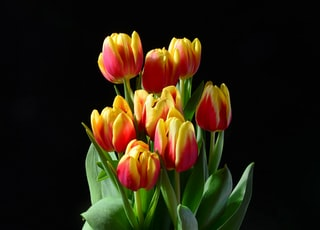person holding yellow-and-red tulip flowers