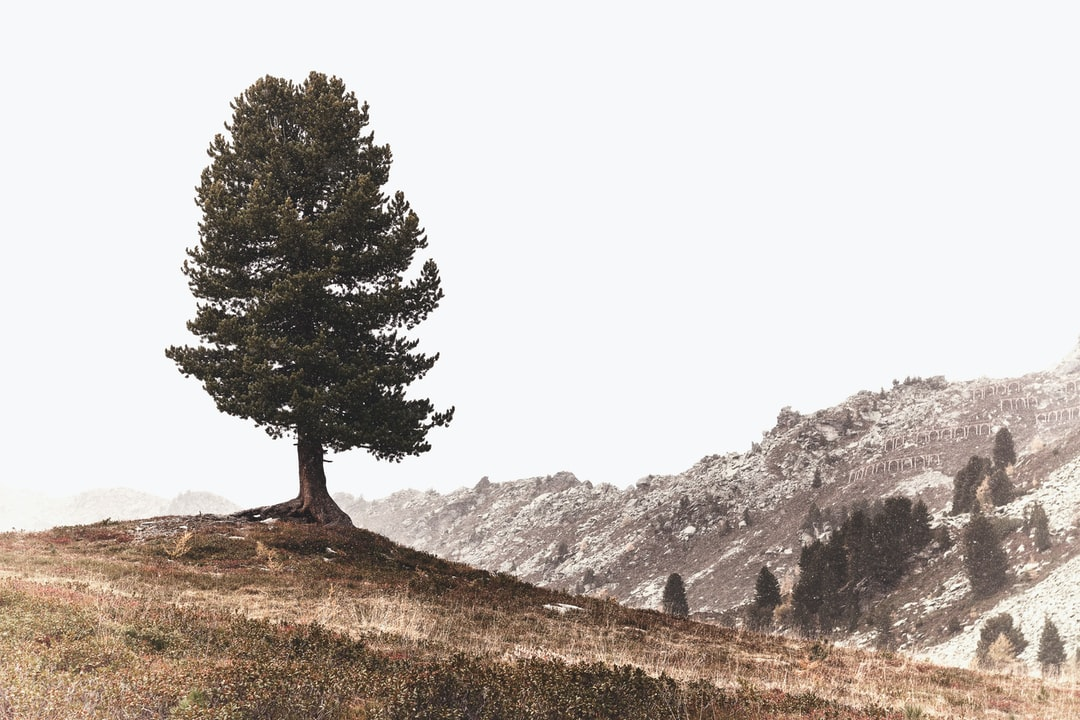 Swiss pine snapped at the Speikboden, a skiarea in the Zillertal Alps!