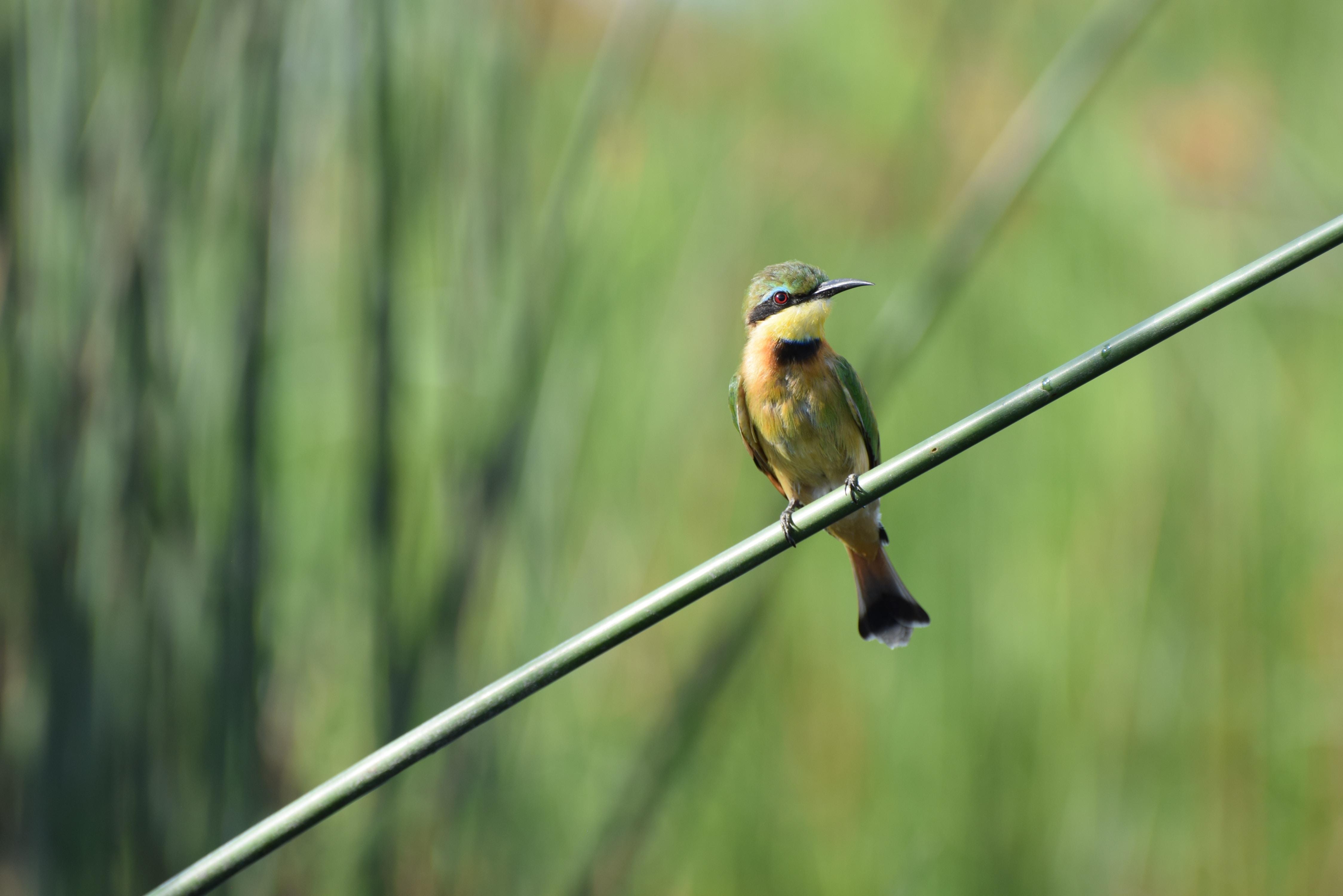 yellow belly long beaked bird on black bamboo stick