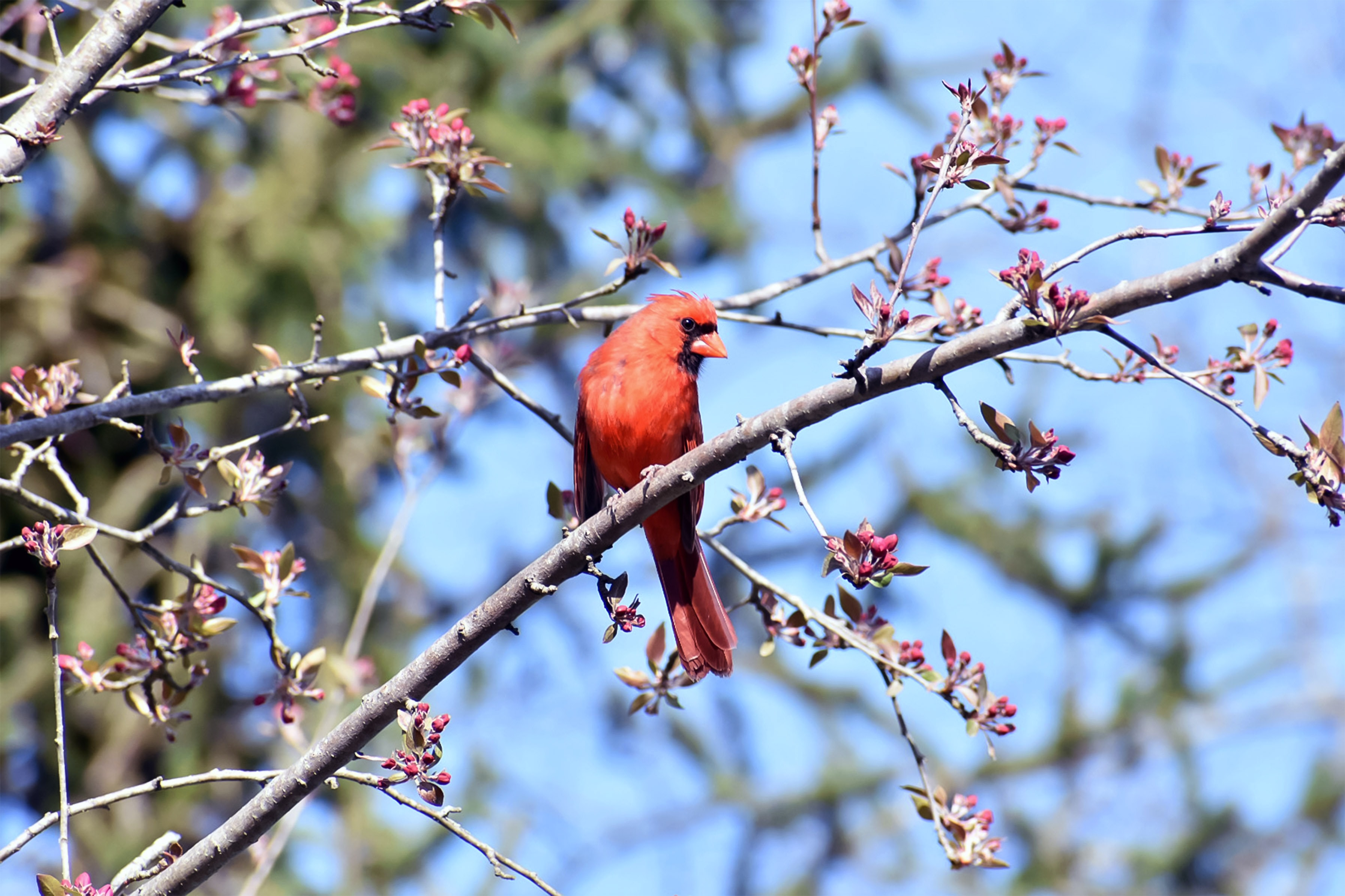 red sparrow bird
