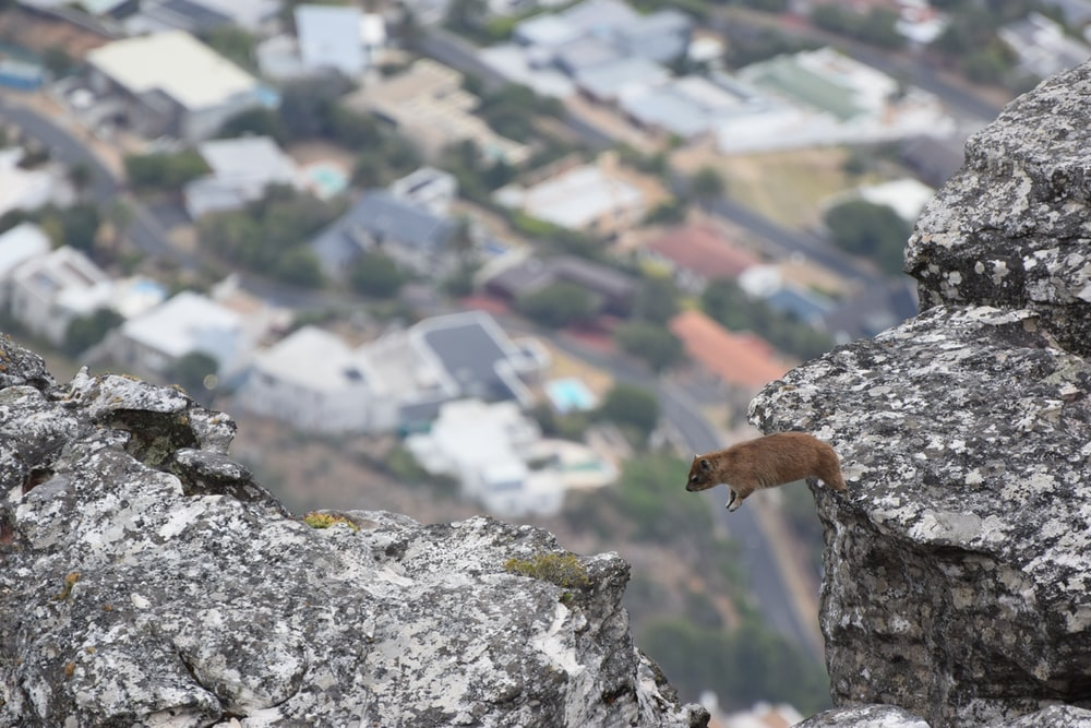 mouse about to jump on rock