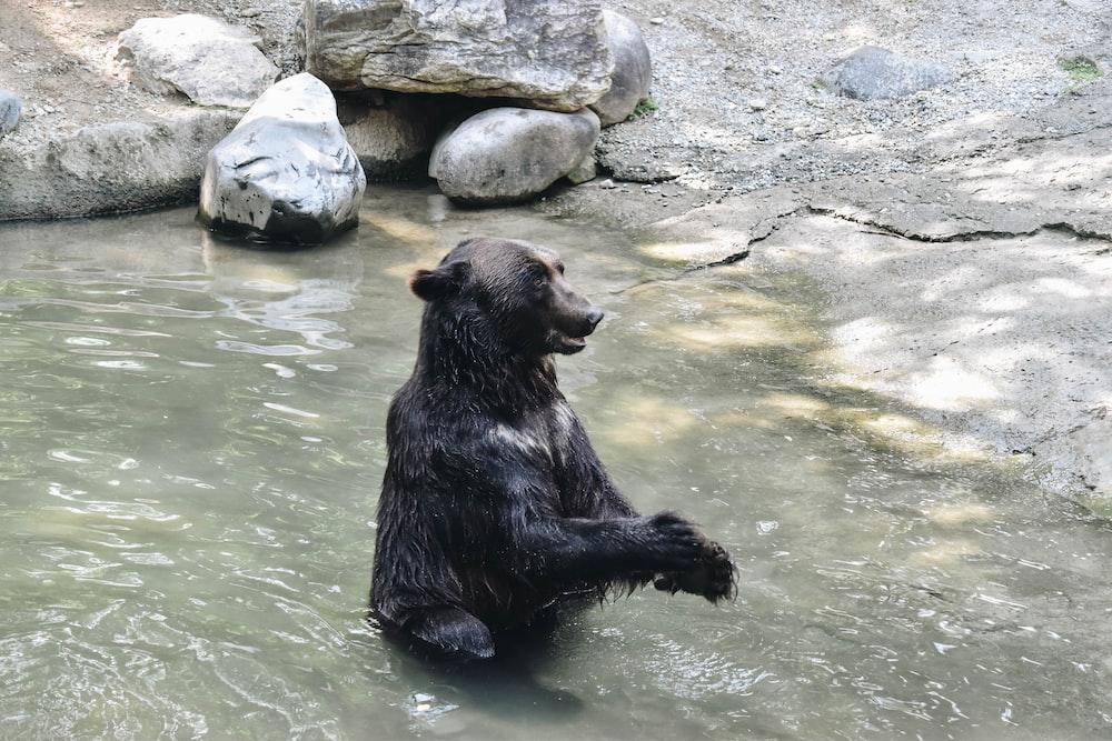 black bear taking a bath