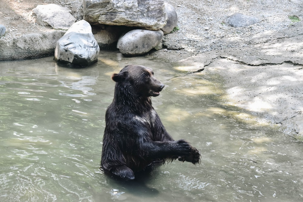 black bear taking a bath