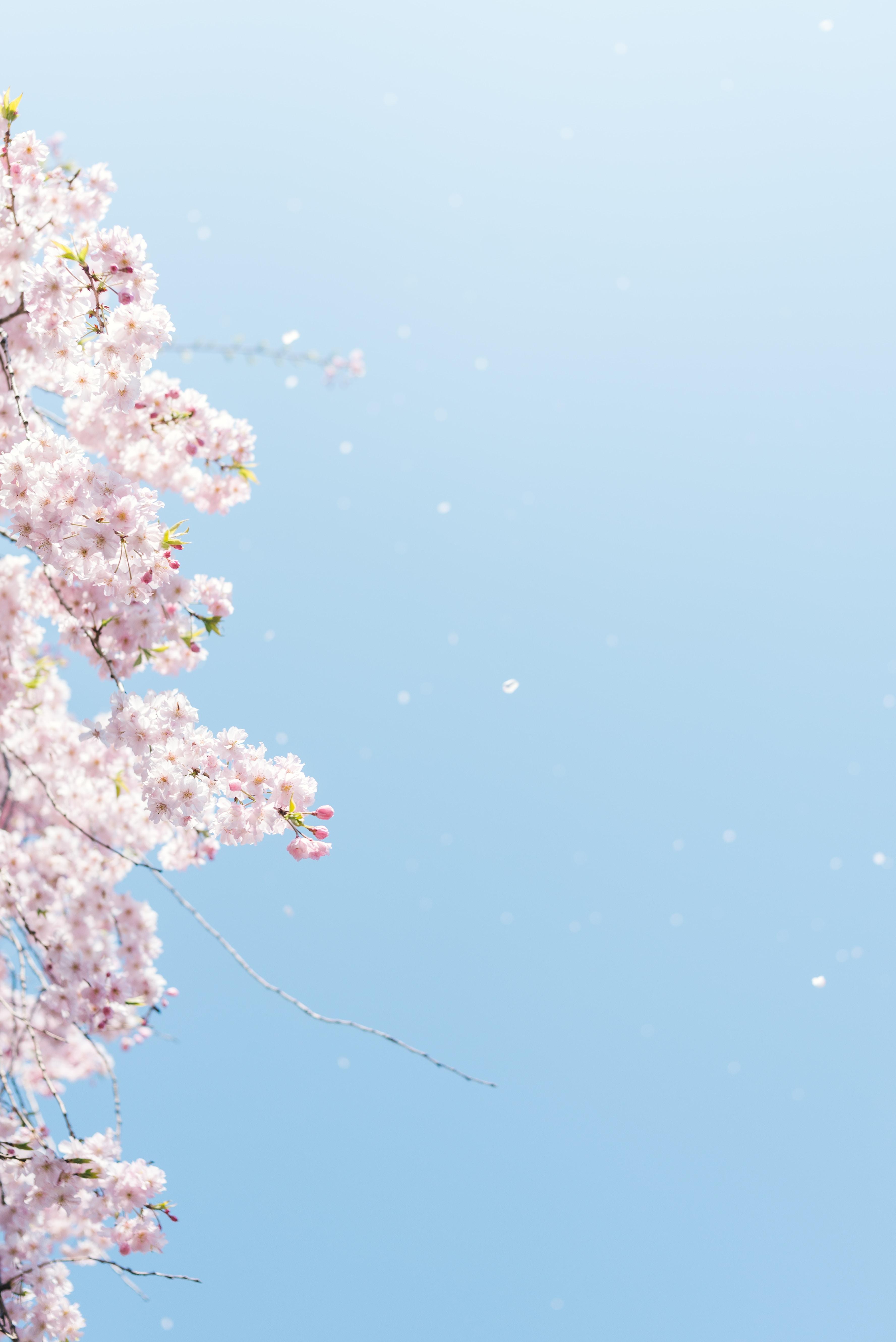 cherry blossom under blue sky