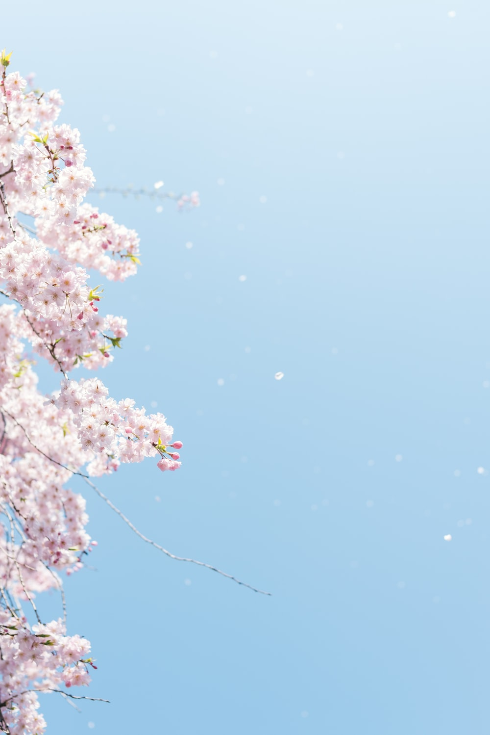 cherry blossom under blue sky