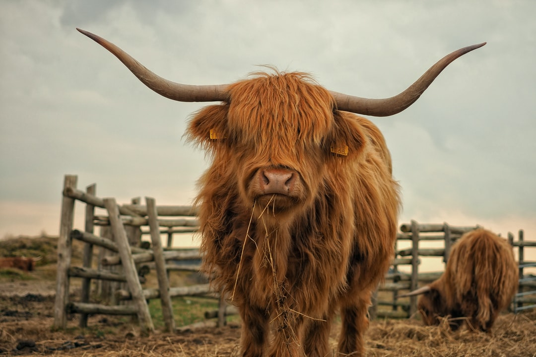 100+ Bull Pictures | Download Free Images on Unsplash
