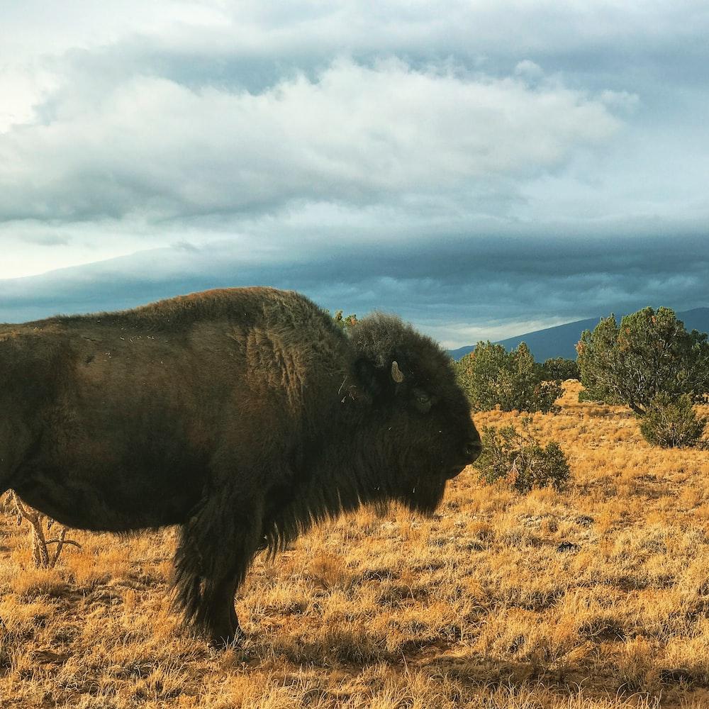 black bison on brown field at daytime
