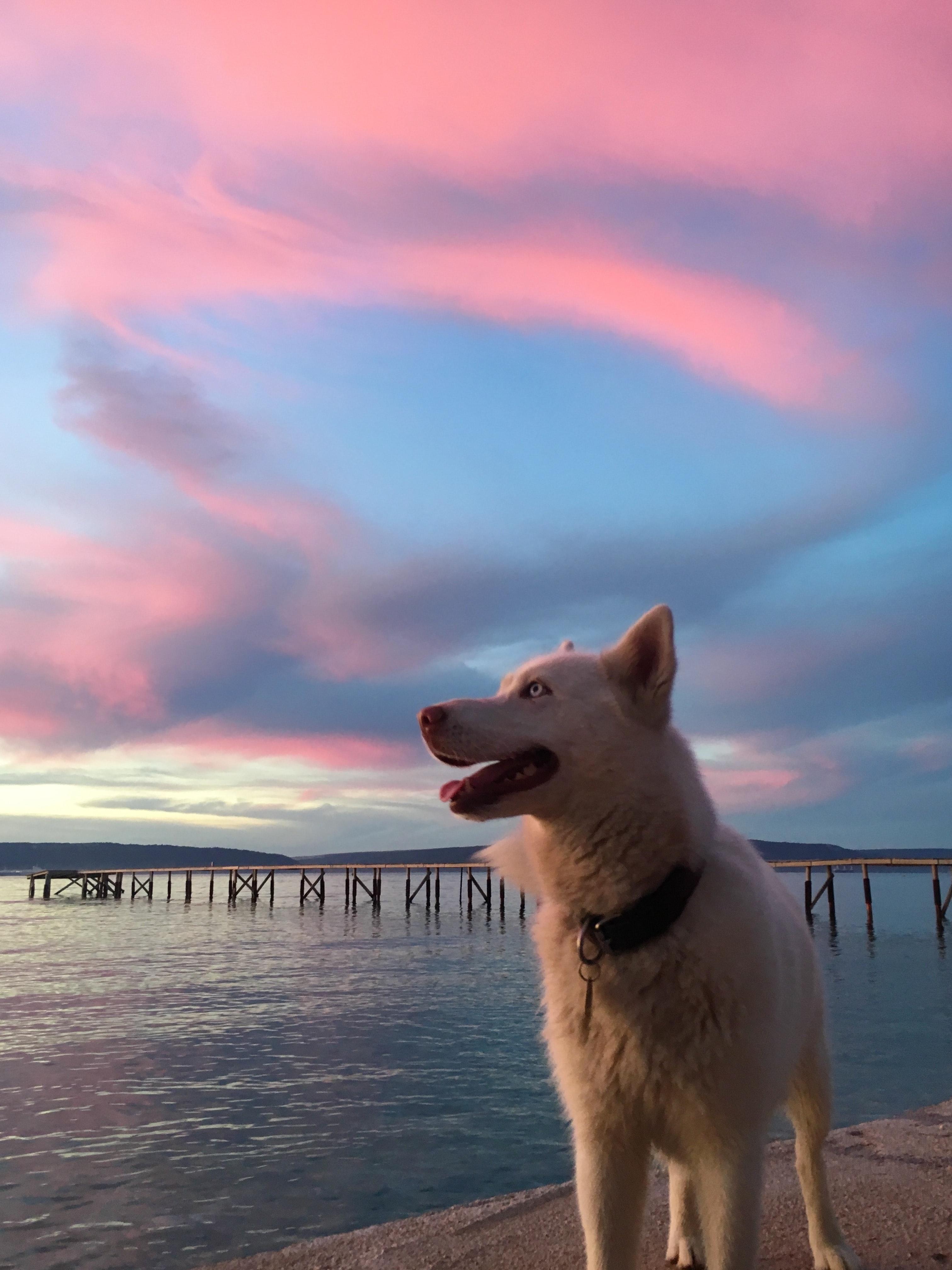 short-coated white dog standing beside body of water during sunset