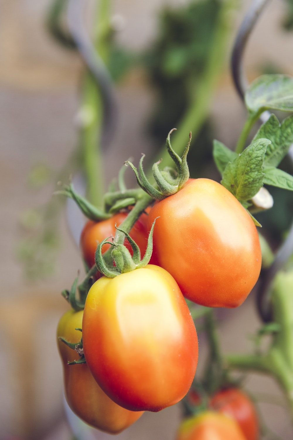 selective focus photography of tomatoes