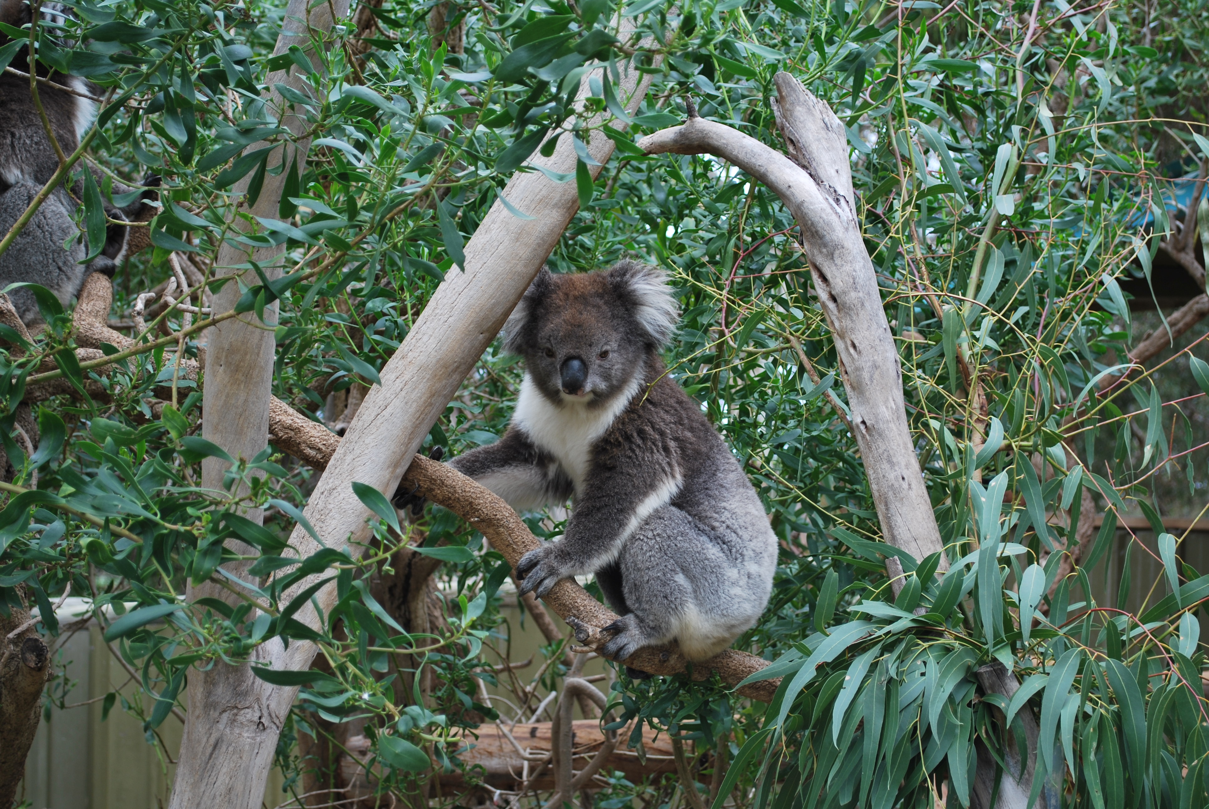 koala bear pictures download free images on unsplash bear claw graphics for jeep jk door bear claw graphic