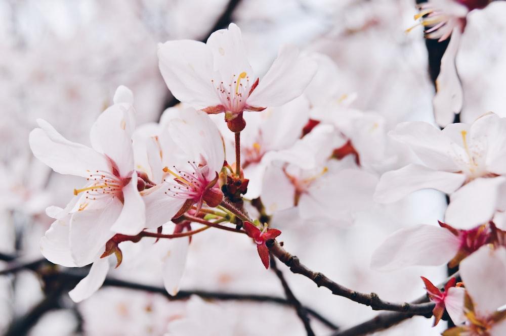 cherry blossom flowers in macro shot