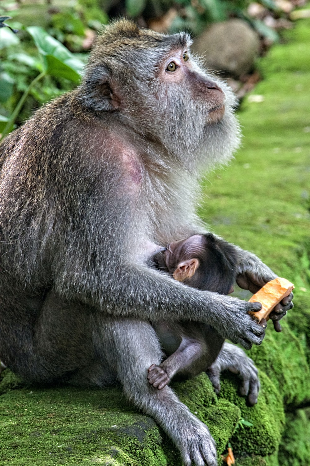 chimpanzee breastfeeding her young
