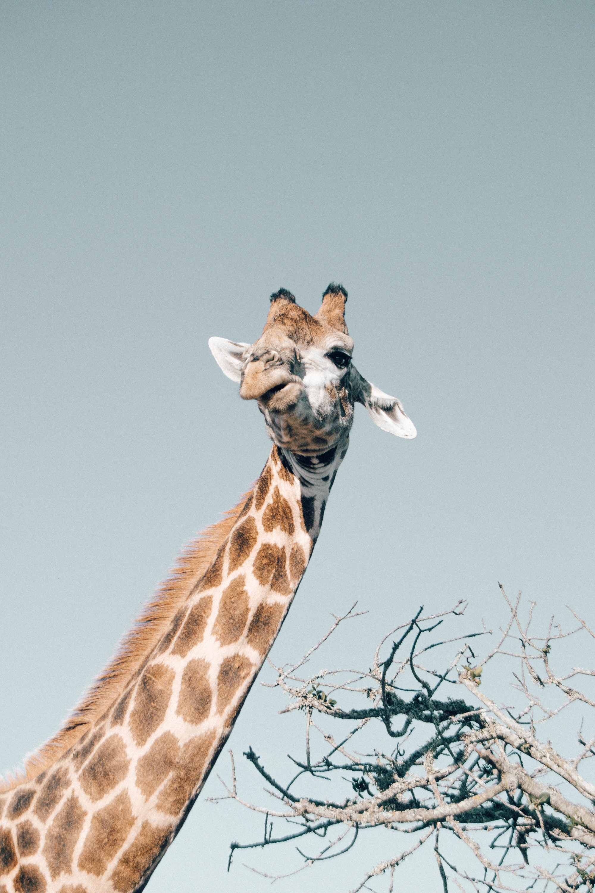 low-angle photo of giraffe