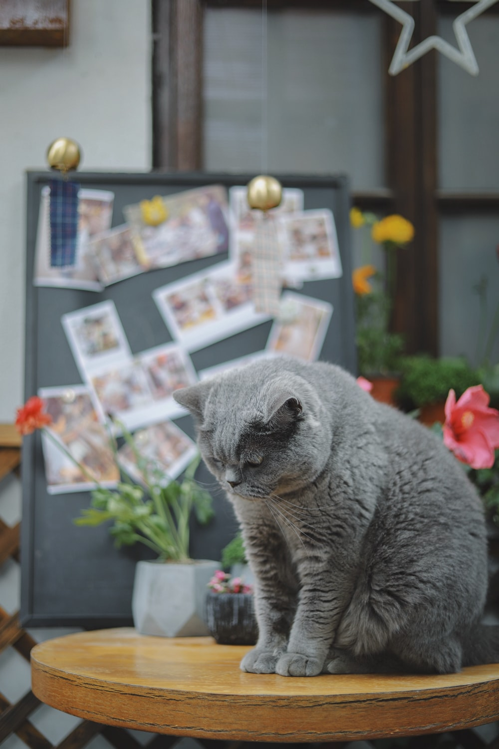short-hair gray cat on round brown wooden table