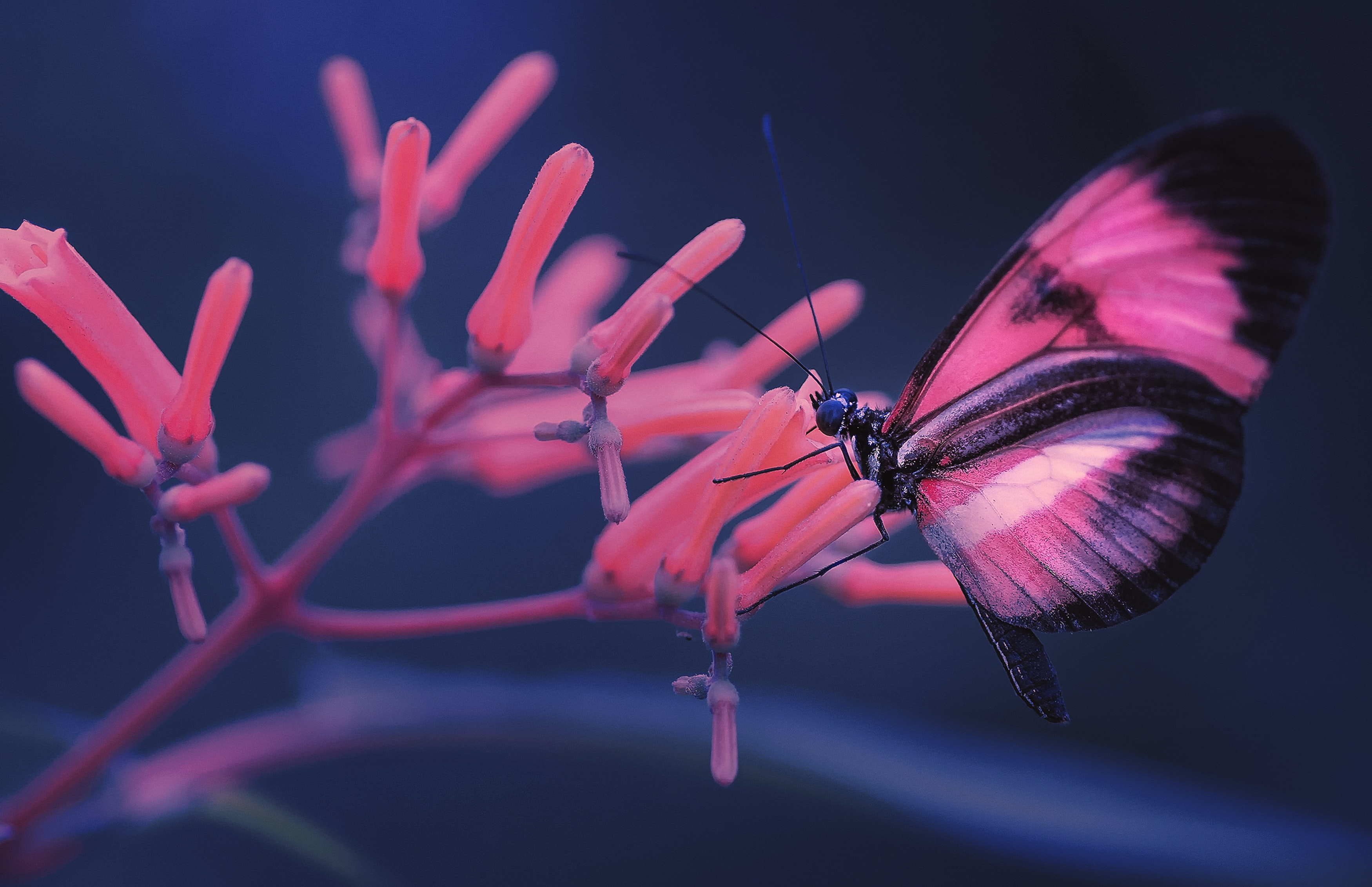 selective focus photo of pink and black butterfly on pink flower