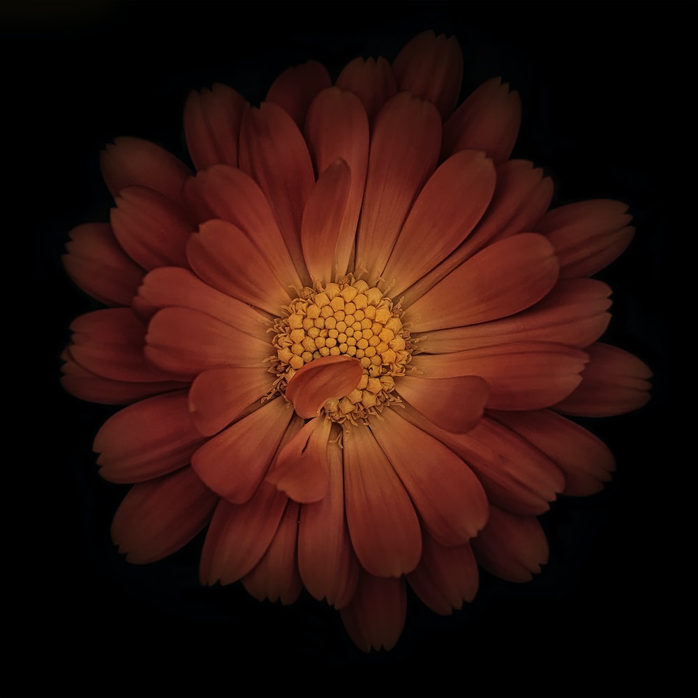 closeup photography of multipetaled flower