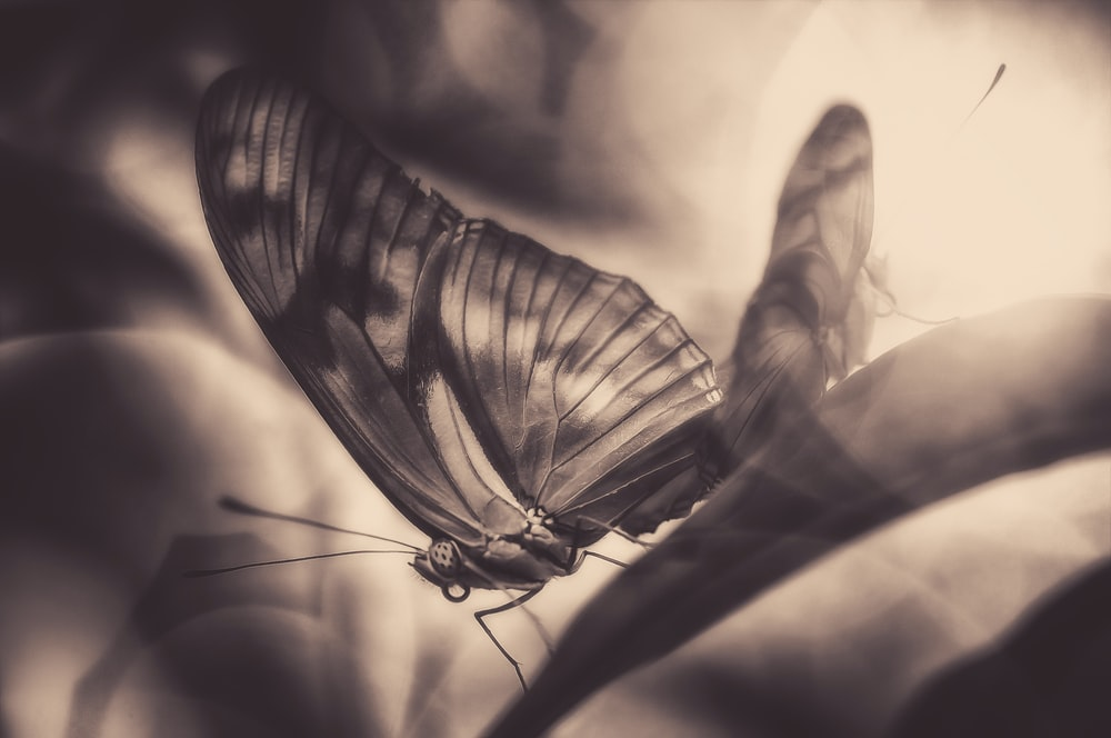 butterfly grayscale photography