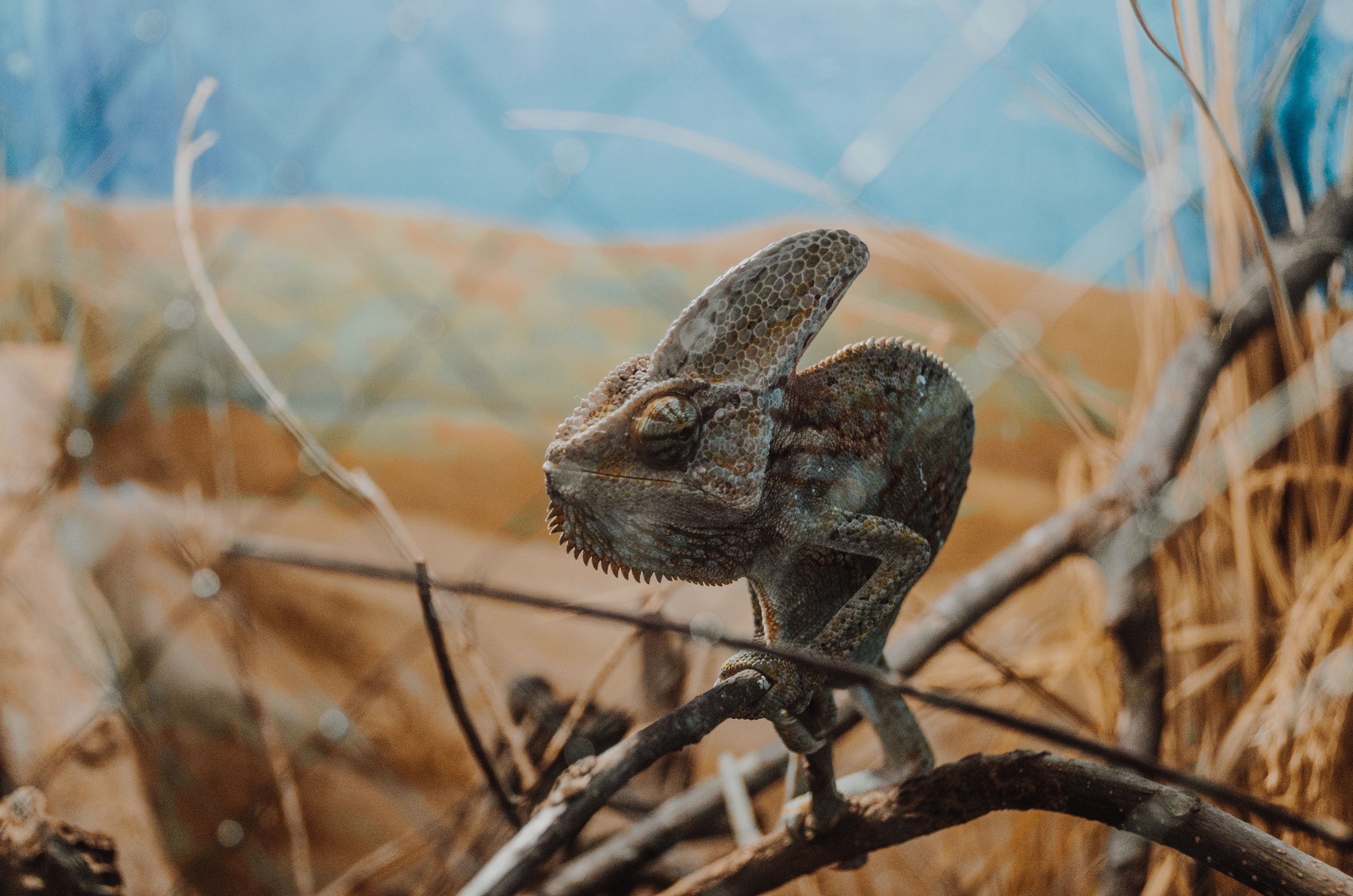 selective focus photography of gray chameleon on wood branch