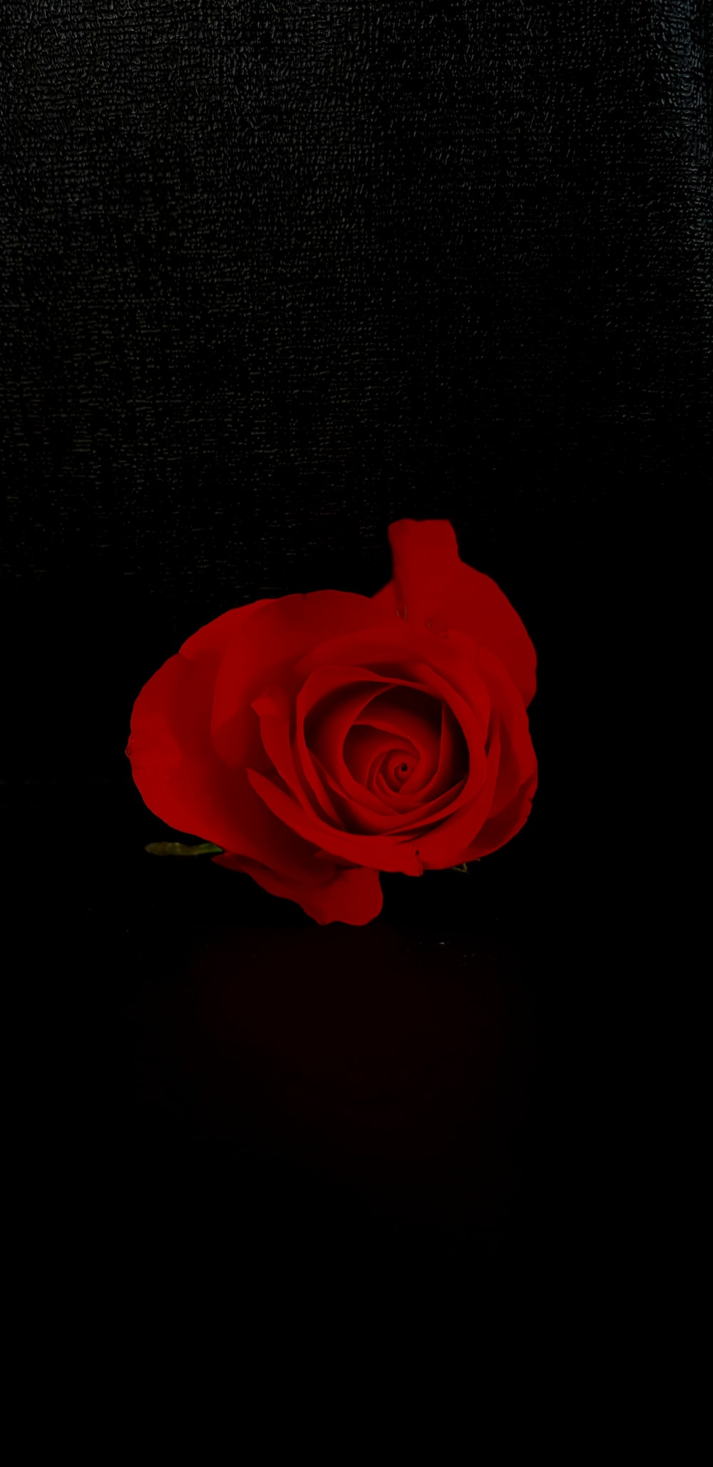 red rose flower on black background