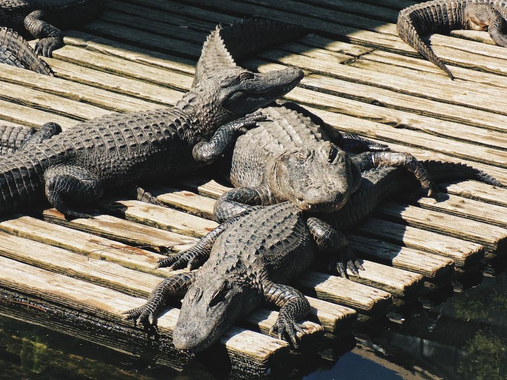three crocodiles lying on wooden dock at daytime