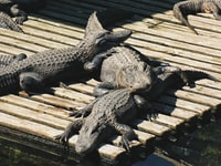 three crocodiles lying on wooden dock at daytime
