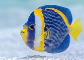 selective focus photography of blue and yellow finned fish
