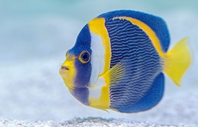 selective focus photography of blue and yellow finned fish fish zoom background