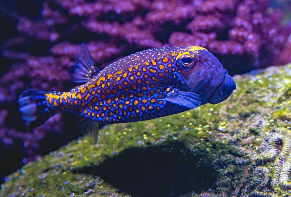 blue and yellow fish swimming underwater