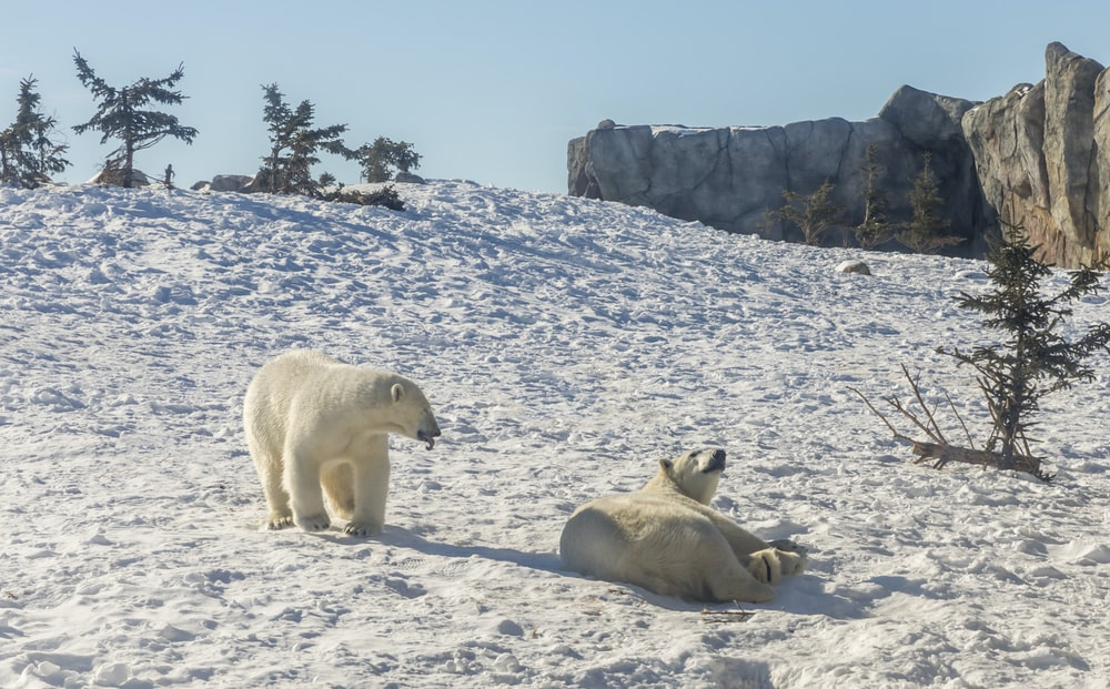 two polar bears playing on snow