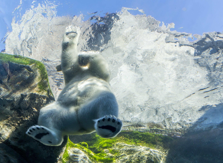 polar bear with mountain