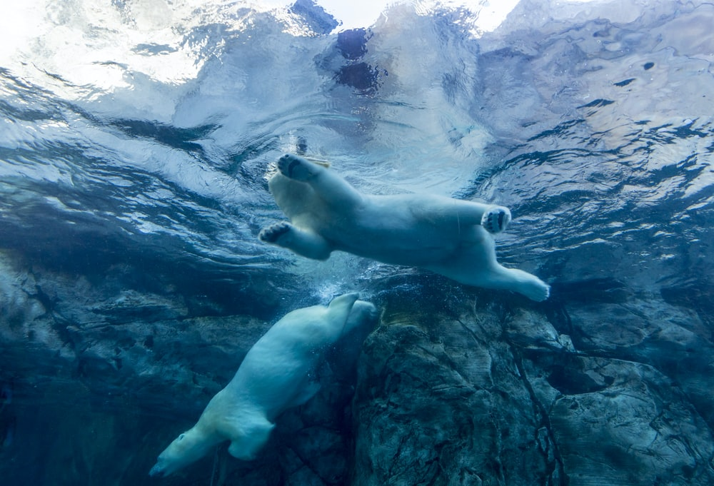 two polar bears swimming in water