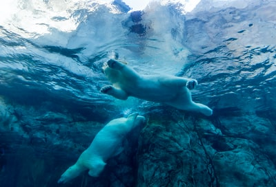 two polar bears swimming in water bears teams background