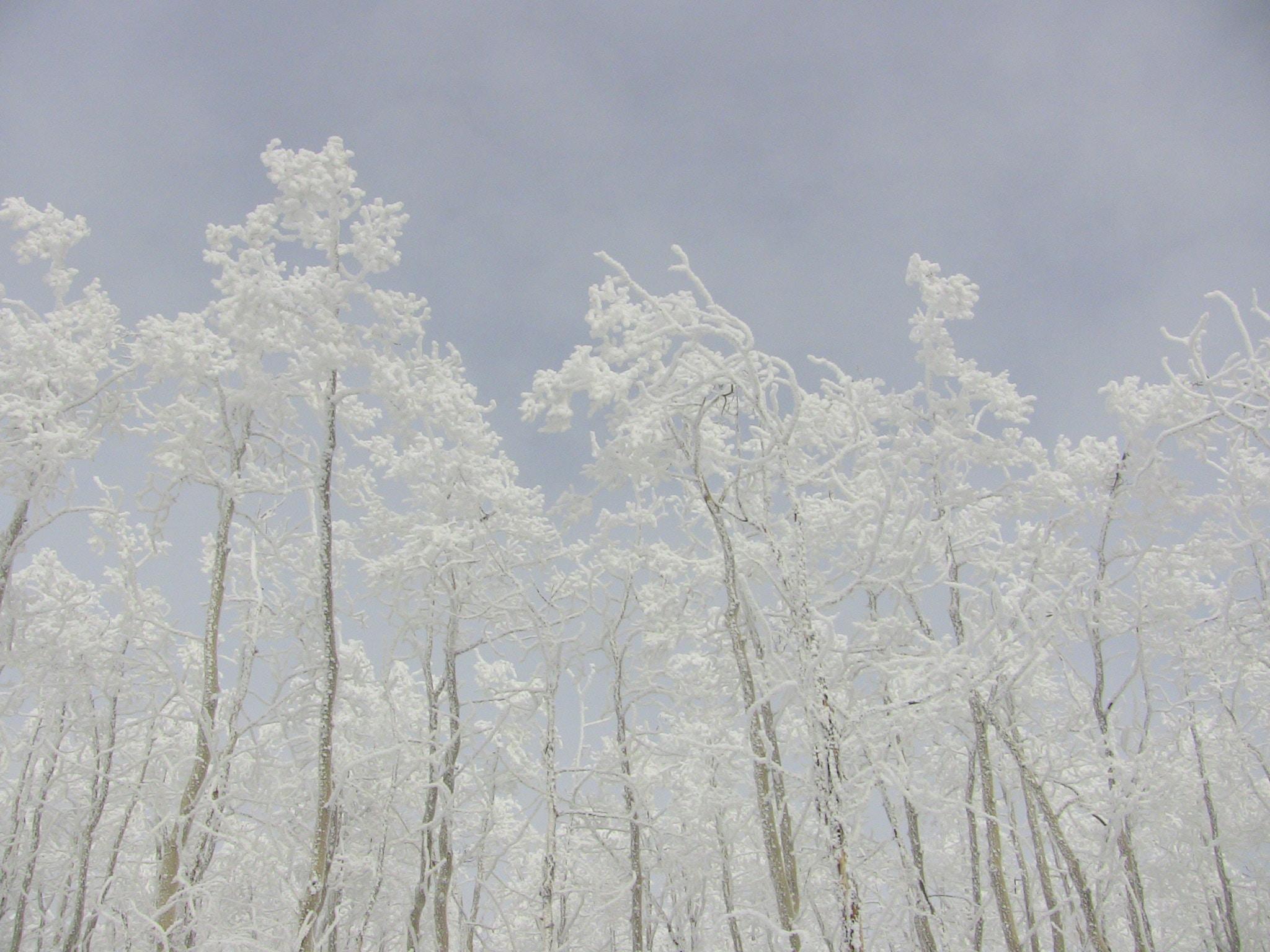 white leafed tree under white cloud