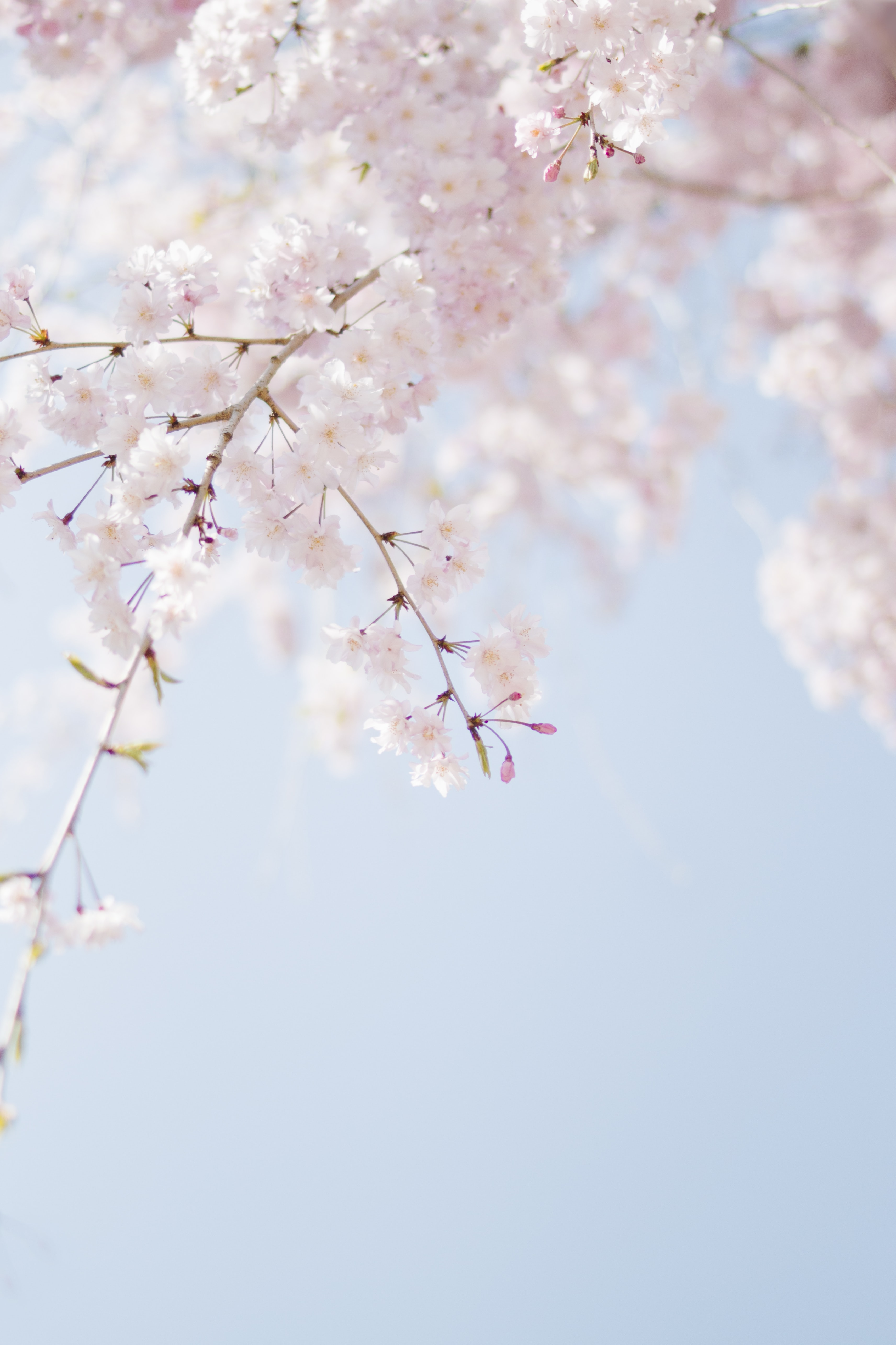 Cherry Blossom Landscape Wallpapers Download at