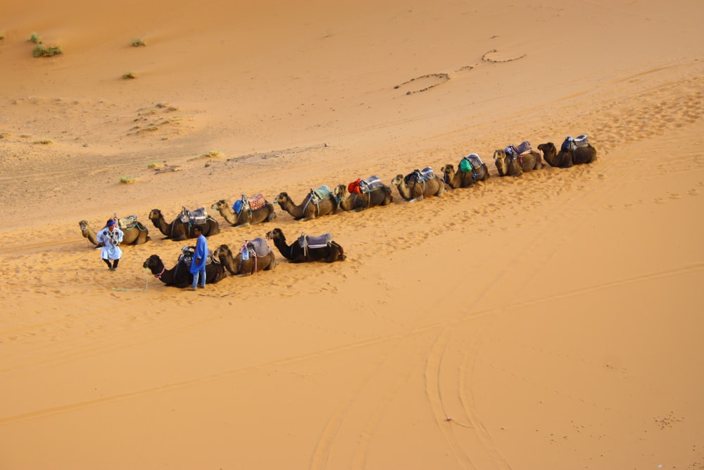 camels walking on dessert