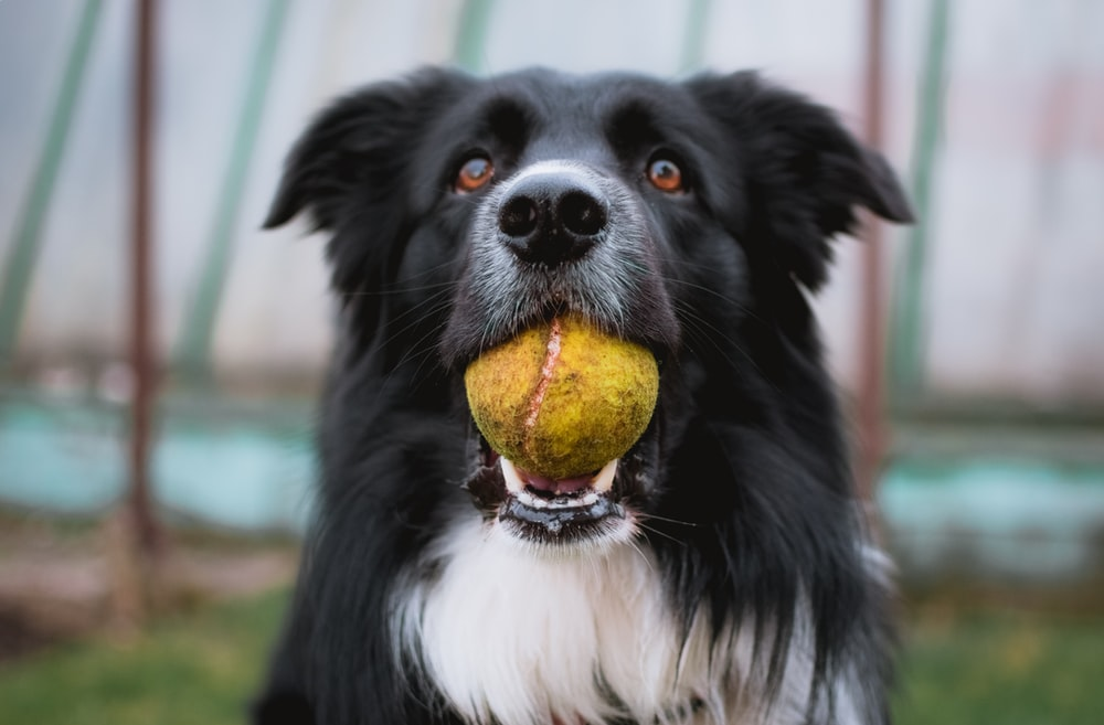 black and white border collie with tennis ball in mouth closeup photography