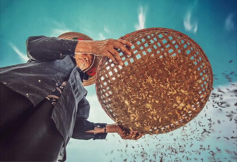 sifting rice grains